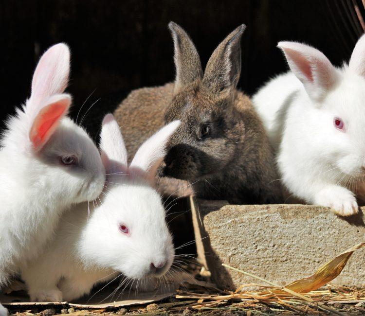 Rabbit,กระต่าย